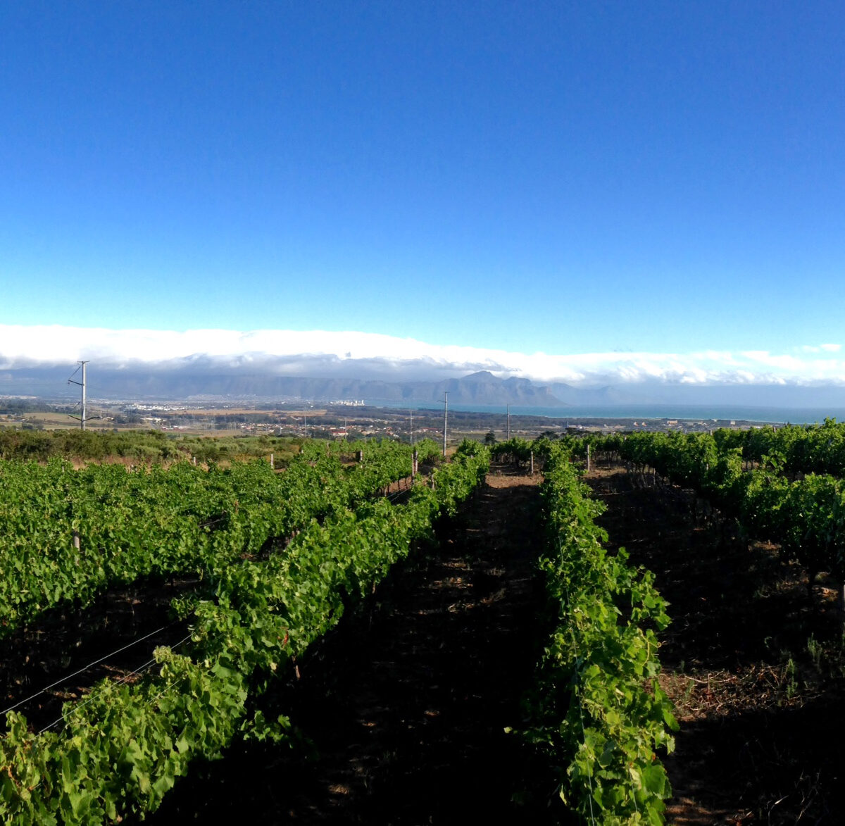 Syrah - Faure Vineyard